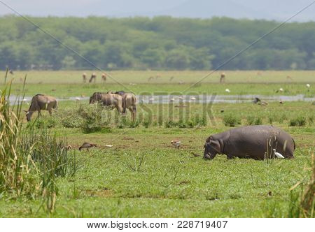 Hippopotamus, wildebeest and other animals grazing in Lake Manyara,  National park, Tanzania