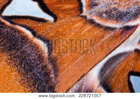 Detailed macro photo of a wing of Attacus Atlas, largest butterfly on the Earth when looked at wing area. This moth lives naturally in South East Asia.