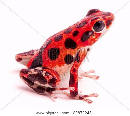 Poison dart or arrow frog, Red Frog Beach, Bastimentos, Bocas del Toro, Panama. Tropical poisonous rain forest animal, Oophaga pumilio isolated on a white background.