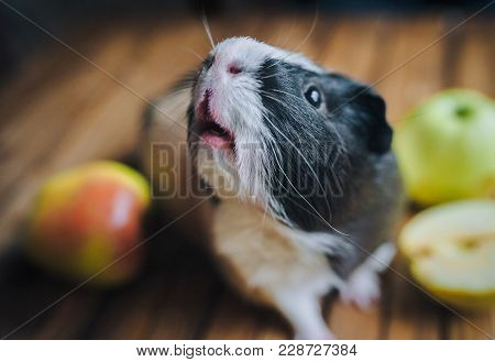 A Hungry Guinea Pig Has Lifted Its Nose Up And Is Waiting For Food. Feeding Guinea Pigs. Apples On A