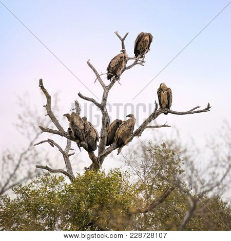 White-backed vultures in the branches of a dead tree. Kruger National Park, South Africa, Square format.