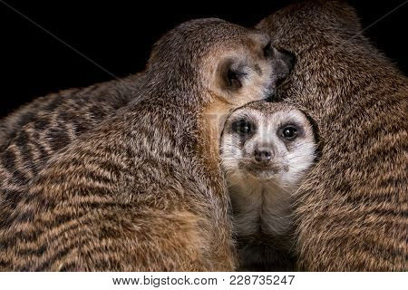 A Frontal Portrait Of A Baby Meerkat Peeking Out From A Huddled Group Of Adult Meerkats