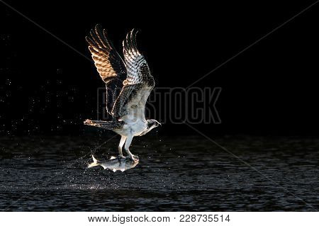 Osprey In Flight Over Water After Catching A Menhaden Fish