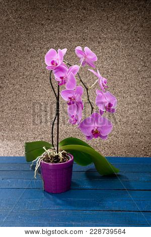 Magenta pink phalaenopsis orchid in a pot.
