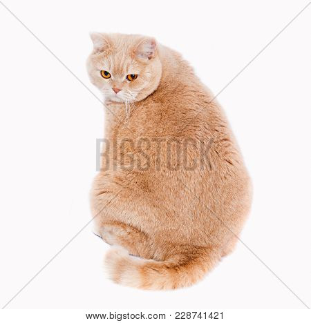 cat scottish straight cream - colored. A fat cat with red hair sits with his back and looks at the frame.