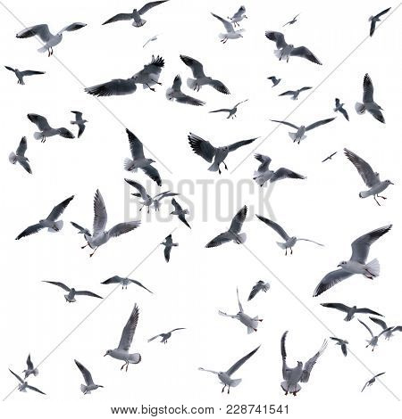 collection of seagulls in flight. sea birds. Isolated on white background.
