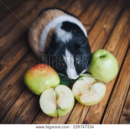 A Hungry Guinea Pig Chewing Apple. Feeding Guinea Pigs. Apples On A Wooden Background. Herbivorous A