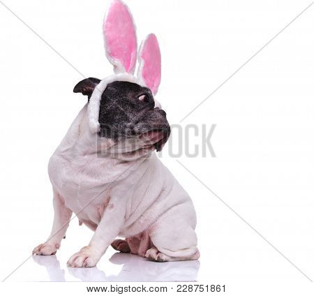 seated french bulldog wearing easter bunny ears looks back over its shoulder on white background
