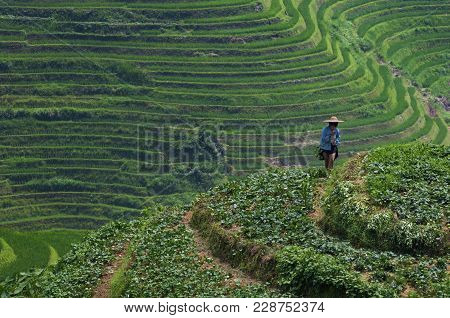 Dazhai, China - August 4 ,2012: A Local Farmer Working In The Rice Terraced Fields Near The Village