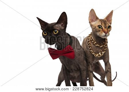couple of elegnat cats standing side by side on white background