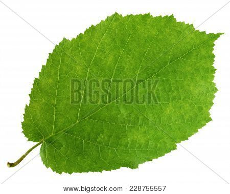 One Green Leaf Of Hazel Tree Isolated On White Background. Herbarium.