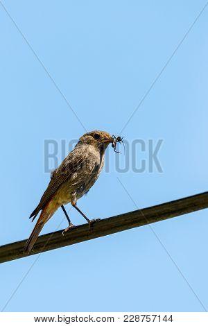 Bird Black Redstart With Insect In Beak