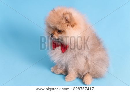 Young Puppy Spitz With Red Butterfly On Blue Background.