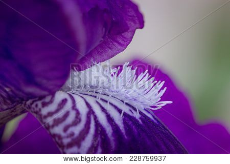 Close-up Abstract Image Of Purple Iris Flower. Spring Macro Outdoor.purple (violet) Spring Flowers I