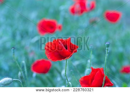 Papaver Rhoeas (corn Poppy Corn Rose Field Poppy Flanders Poppy Red Poppy Red Weed Coquelicot) In Th