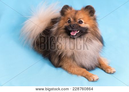 Young Spitz Posing On Camera, On Blue Background.