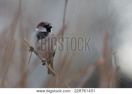House Sparrow, Passeridae, Passer Domesticus, Male, On The Branch In The First Day Of The Spring