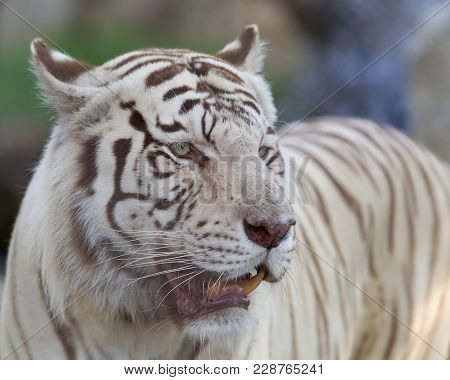 White Tiger, A Pigmentation Variant Of The Bengal Tiger, Panthera Tigris Tigris, Searching For His P
