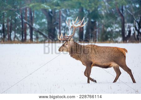 Single Adult Noble Deer With Big Beautiful Horns With Snow Walking On Winter Forest Background. Euro
