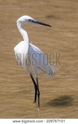 Little Egret, Egretta Garzetta, White Heron, Staying The Mud Swamp In The Summer Day, Looking For A