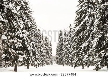 A Distant View At The Fir Walkway. Trees Are Covered With The Snow