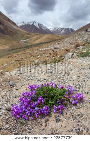 Close-up view of beautiful purple flowers blooming in rocky mountains in Indian Himalayas, Ladakh region, India
