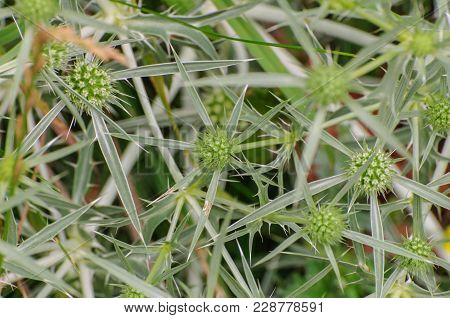 Green Eryngium Planum On Green Greased Background, Close-up