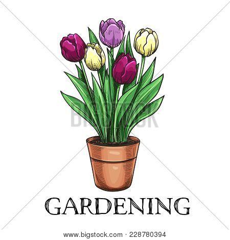 Tulips In A Pot. Hand Drawn Sketch Garden Flowers For Gardening Desing Priduction.