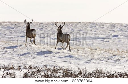 Deer Buck In Winter In Field Saskatchewan Canada