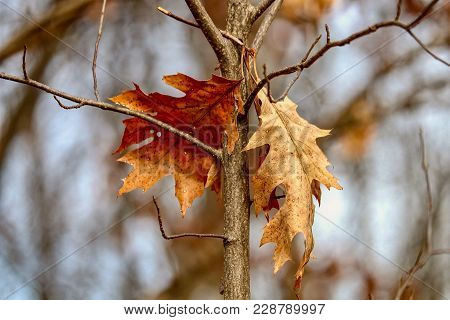 Two Oak Leaves Hanging From A Branch At The End Of Autumn