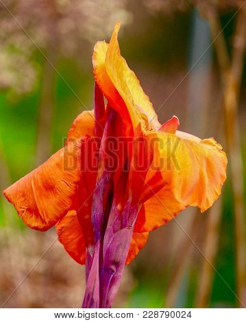 Closeup Of A Tropicanna Canna Lily In The Afternoon Sunlight In Summer