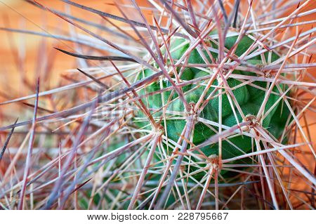 Cactus With Horrible, Thick Long And Sharp Thorns On Orange Background, Close-up. Horizontal Photo.