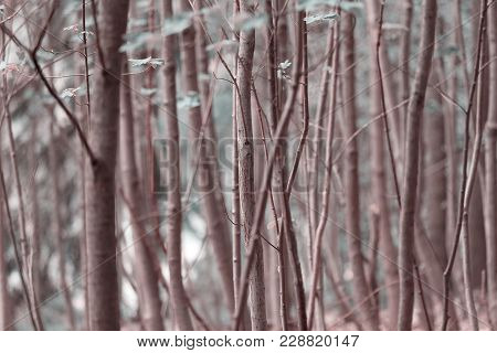 Tall Thin Trees Growing In The Forest