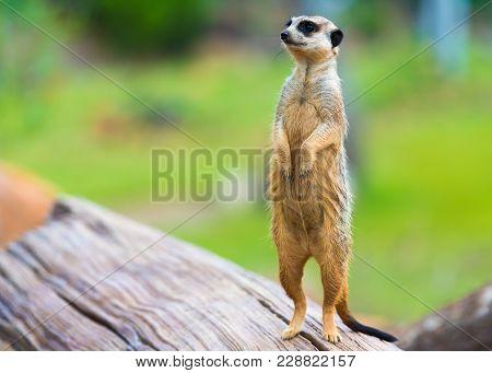 Portrait Of Meerkat Suricata Suricatta, African Native Animal, Small Carnivore Belonging To The Mong