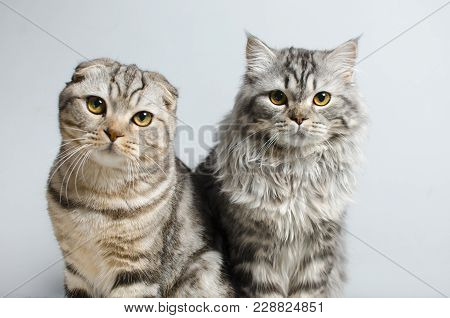Scottish Fold And Scottish Pryamouhy, Blue Marble Cats. On A White Insulator Look Into The Camera.
