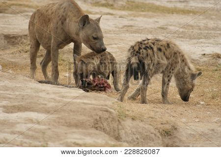 A Family Of Spotted Hyena(crocuta Crocuta)fisi In Swahili Language