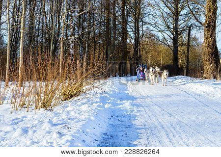 Girl Riding On Sled Pulled By Dog Siberian Huskies