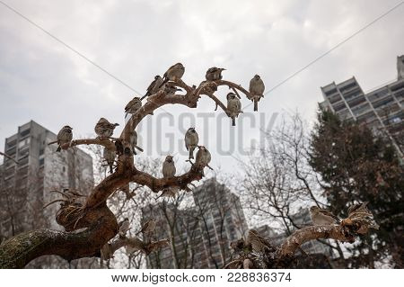 Flock Of House Sparrows, Passer Domesticus, Passeridae, Sitting On Branches Of A Tree Against Buildi