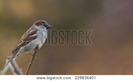 House Sparrow Male, Passer Domesticus, Passeridae, Sitting On The Branch And Watching On The Right S