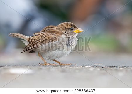 Sparrow Female, Passeridae, Passer Domesticus, Is Posing On A Blurry And Colorful Background