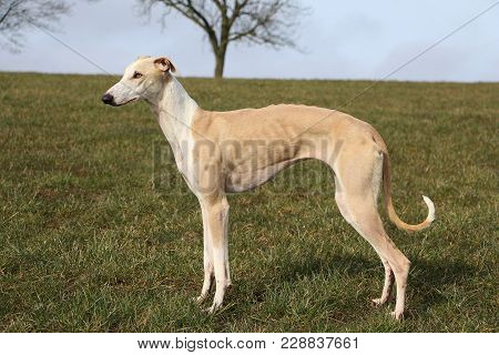 Brown Galgo Portrait On A Field In The Sunshine