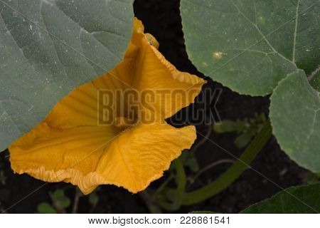 Zucchini. Cucurbita Pepo Ssp. Pepo. Useful Vegetable. Green Leaves. Bushes Courgettes In The Garden.