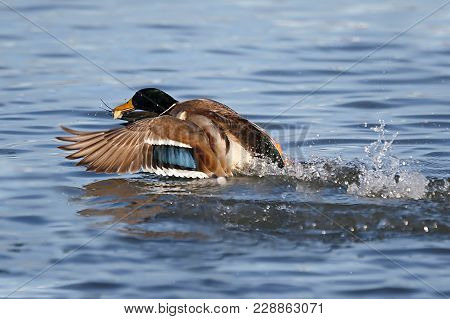 The Wild Duck, Mallard, Anas Platyrhynchos, Is In The Water And Catches A Peace Of Bread