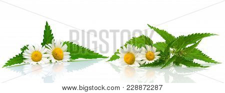 Flowers Of Chamomile And Nettle Leaves On White Background. Horizontal Photo.