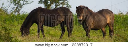 Wild Ponies Quantock Hills Somerset England Uk Panoramic  View