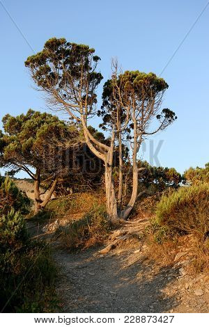 The Stony Path Among Sunlit By The Setting Sun Juniper Trees In Summer Evening.