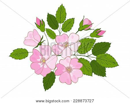 Branch Of Blossoming Dogrose. Flowers And Buds Of Dog Rose. Vector Eglantine