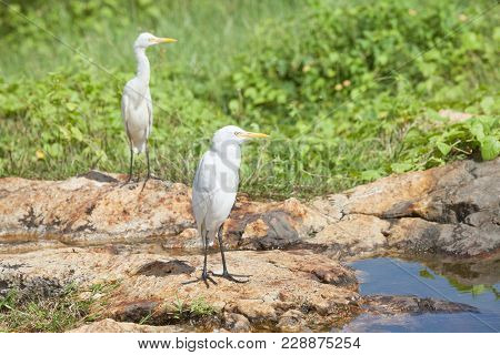 Galle, Sri Lanka, Asia - White Asian Herons Having A Rest At A Small River In Galle