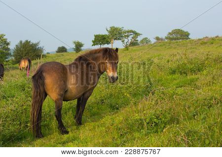 The Quantock Hills Somerset England Uk With A Wild Pony