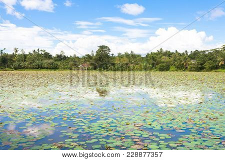 Matara Lake, Sri Lanka, Asia - Tousands Of Water Lilies On A Lake Near Matara